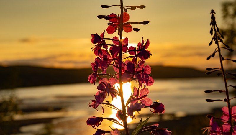 Midnight Sun, tenojoki- Utsjoki Lapland Nightless night