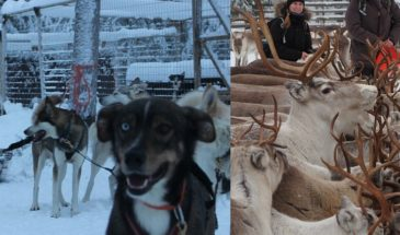 Husky Safari 7km and Authentic Reindeer Farm Visit in rovaniemi in winter season