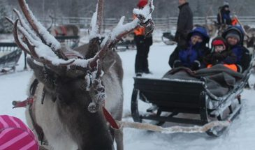 Family enjoying the Reindeer Sleigh Ride Rovaniemi, lapland in a reindeer farm during winter Finland