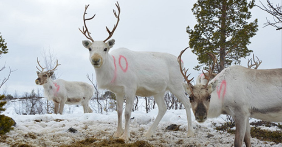 Reindeer herders- winters with basal ice are experienced more often than before- press release photo ulapland