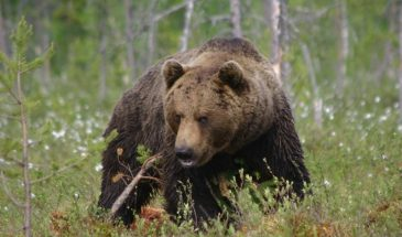wild Brown Bears tour Kuusamo Lapland Finland