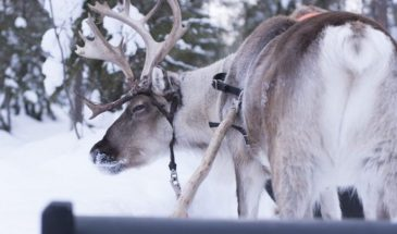 Authentic Reindeer Farm Visit with Reindeer Safari- wild about lapland- Visit Lapland