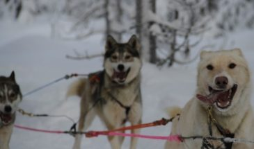Speed and relaxation – Two diffrent types of sleigh rides with huskies and reindeer- Polar lights tours- kittilä- Visit Lapland
