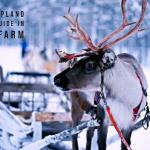 Working in Lapland reindeer farm as a guide in Sodankylä