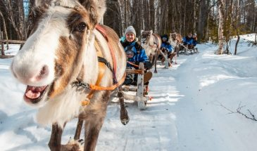In Pursuit of Reindeer – Snowmobile safari to reindeer farm