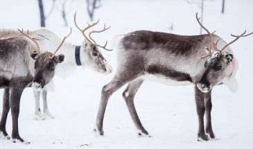 Snowmobile Safari to visit Reindeers at Wilderness camp