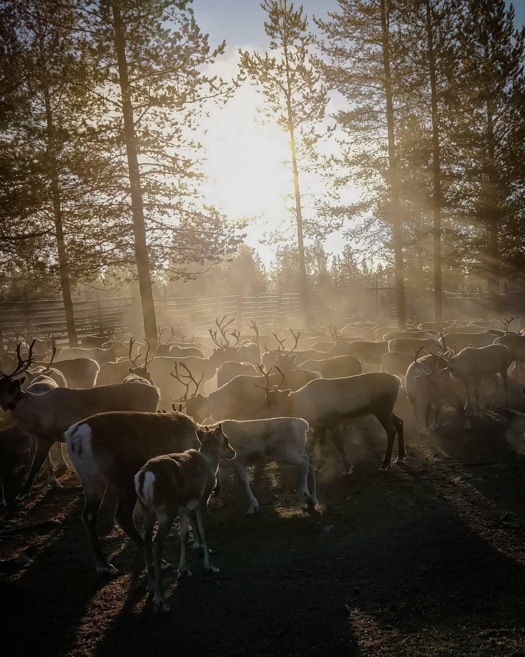Reindeer herding in Lapland- IIda aletta Salla story of reindeer farm in Lapland Finland´Blog by Visit Lapland