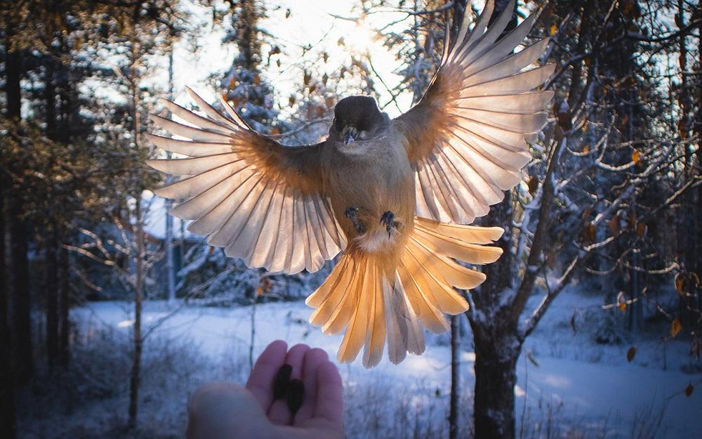 Anniina Olkkonen - Siberian Jays my best friend lapland Salla Finland