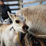 Reindeer Herder girl IIda-Aletta from Salla Lapland and reindeer marking in summer