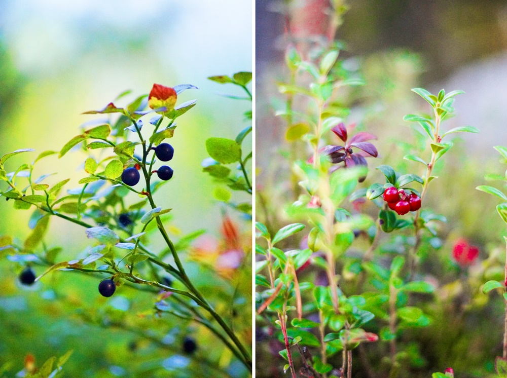Blueberries and lingonberries in Lapland