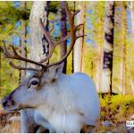 Adopt reindeer in Lapland Finland - Visit Lapland Blog- Picture by Jasim Sarker