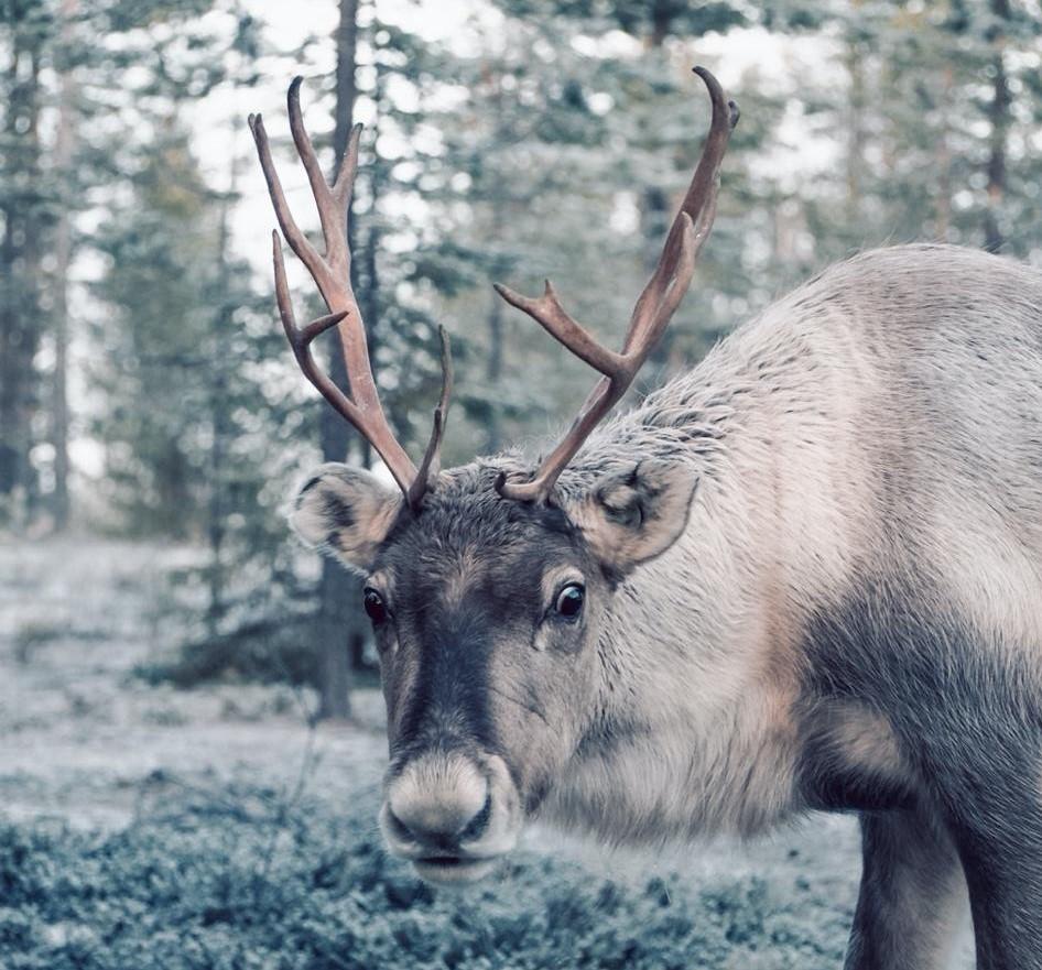Reindeer in kemijärvi Lapland Finland By Jenna Heikkilä - Visit Lapland