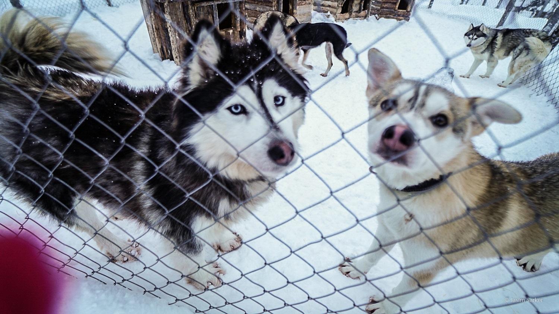 Huskies in Rovaniemi lapland at Shaman huskies